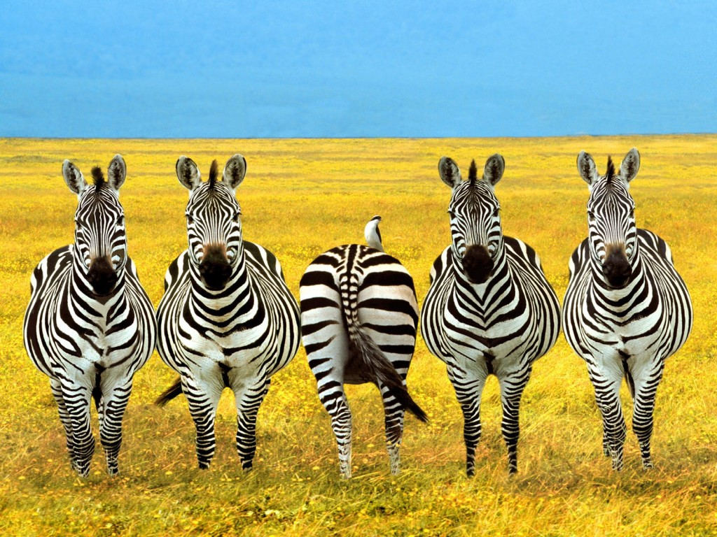 zebras-dare-to-be-different-moush